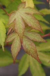 Acer palmatumUsu midori