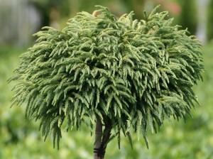cryptomeria-japonica-globosa-nana-je