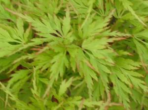 acer-palmatum-dissectum-seiryu
