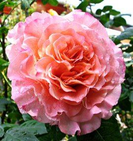 rosa augusta louise