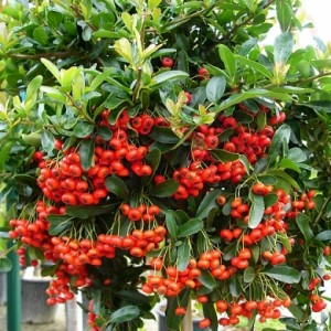 Pyracantha-Ventoux-Red