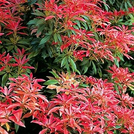 pieris-forest-flame
