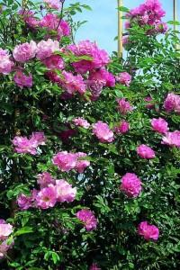 rosai banksiae rosea