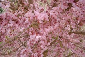 Prunus-subhirtella-Fukubana