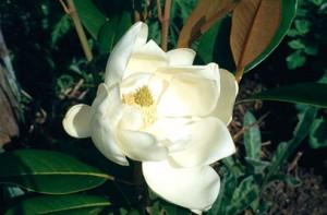 magnolia goliath